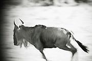 A wildebeest running in Cottars Conservancy, Kenya