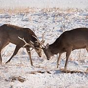 Sika deer, two large males sparring. Hokkaido, Japan.
