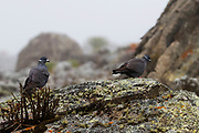 The white-collared pigeon (Columba albitorques) is a species of bird in the family Columbidae. The species is endemic to the Ethiopian highlands in Eritrea and Ethiopia. It occupies countryside surrounding rocky cliffs and gorgesand is also common in town centres. Photographed in Ethiopia in November