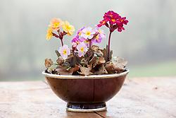 Dusky polyanthus in brown dish