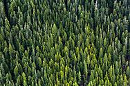 flying over spruce trees in alaska