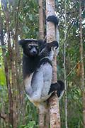Milne-Edwards' sifaka (Propithecus edwardsi) Photographed in Madagascar