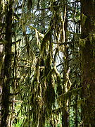 Trees and moss, Ho Rainforest, Olympic National Park, Washington, USA.
