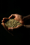 Coffee beans ready to be dried.