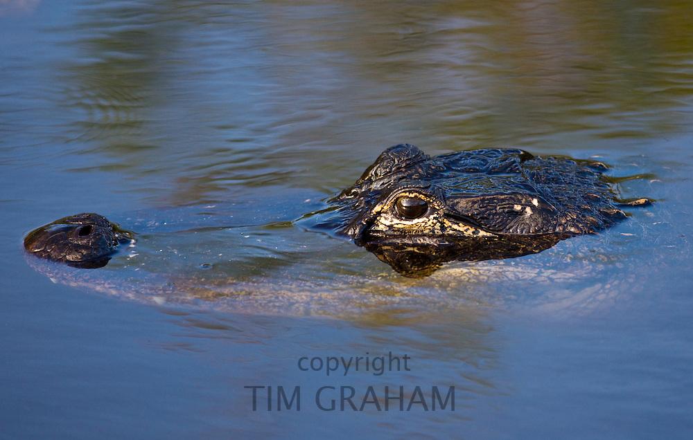 Alligator in river water, Everglades, Florida, United States of America