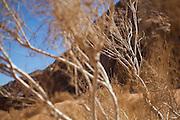 A white saxaul (Haloxylon persicum) tree in Wadi Rum, Jordan.
