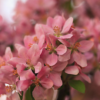 """""""Fluttering in Pink""""<br /> <br /> Lovely pink blossoms fluttery in the spring sunlight and wind!"""