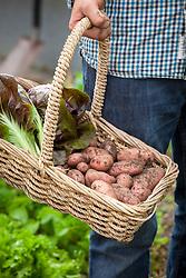 Harvesting potatoes and chicory into a basket. Potato 'Sarpo Mira'
