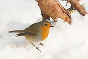 Robin, Erithacus rubecula, feeding on pinewood floor in winter, Inverness-shire, Highland, snow