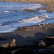 Northern Elephant Seal, (Mirounga angustirostris)  Rookery at Piedras Blancas, California.