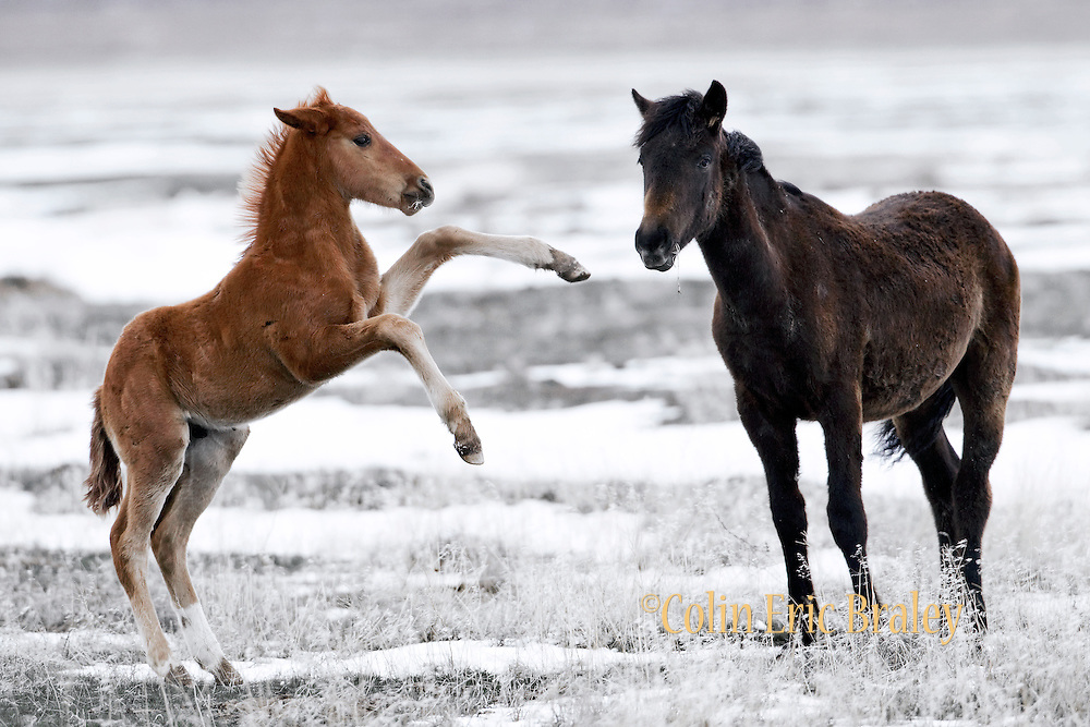 Equis-Wild Horses-Mustangs-A spring snow blankets the west desert in Utah as a herd of wild horses graze, April 6, 2010. Colin E Braley (Wild West-Media)