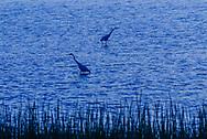 Heron, Hampton Bays, New York, Southampton, Shinnecock Bay