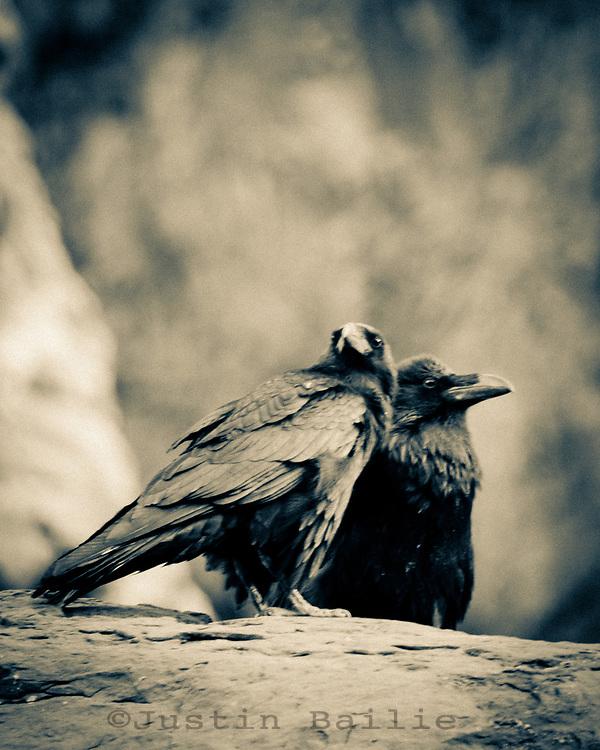 Ravens on  the Grand Canyon. Grand Canyon National Park, AZ.