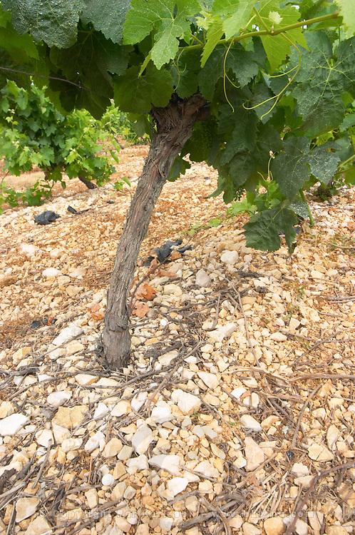 Domaine l'Aigueliere. Montpeyroux. Languedoc. Grenache grape vine variety. Soil argilo-calcaire, clay and calcareous limestone. Terroir soil. France. Europe. Vineyard. Soil with stones rocks. Clay. Calcareous limestone.