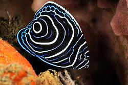 Pomacanthus imperator, Chaetodon imperator, Jungtier von Imperator Kaiserfisch, juvenile emperor angelfish, Tulamben, Bali, Indonesien, Indopazifik, Indonesia, Asien, Indo-Pacific Ocean, Asia