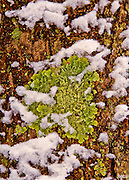 A foliose lichen (Xanthoparmelia sp.) dusted by blowing snow clings to the bark of a pine trree