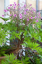 Geranium maderense growing in a pot in the greenhouse. Giant herb robert