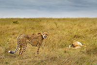 A female Cheetah with an Impala kill in the Masai Mara National Park, Kenya