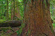 A_Vancouver Island & Gulf Islands. Old growth temperate rain forest in Cathedral Grove<br />
