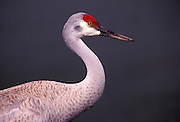 Portrait of a sandhill crane (Grus canadensis). Sauvie Island State Wildlife Refuge, Oregon.