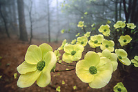 A Dogwood tree blooms out of the mist in the San Bernadino Mountains, California.
