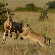 African Lion (Panthera leo) Cubs playing. Masai Mara National Park. Kenya. Africa.