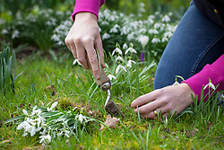 Dividing snowdrops in the green. Re-planting