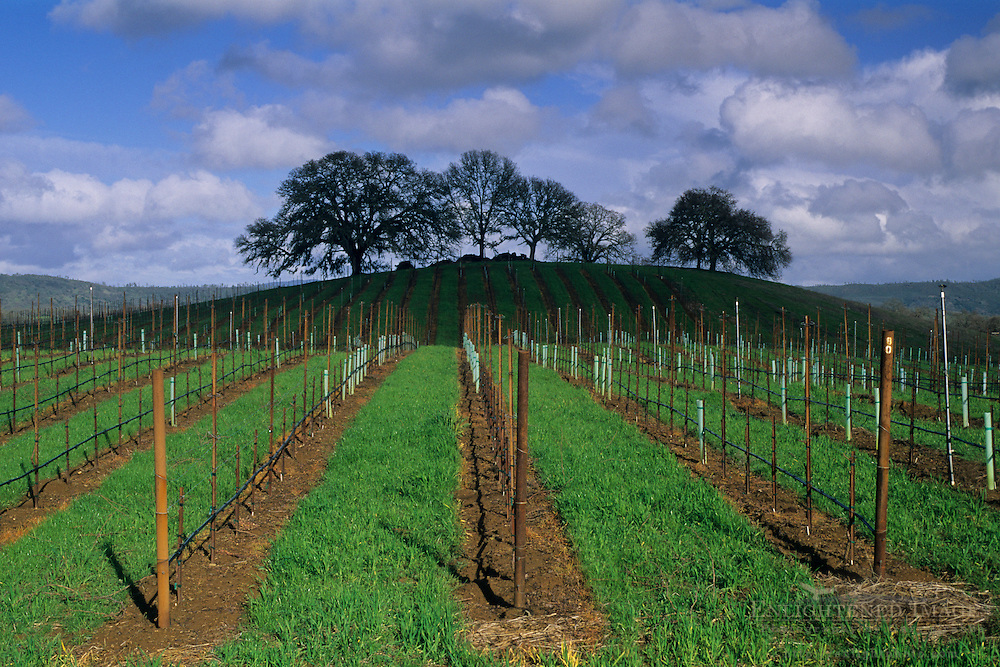 Vineyard in winter along Chiles-Pope Valley Road, Pope Valley Napa County, California