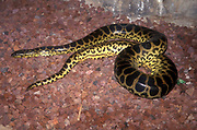 The yellow anaconda (Eunectes notaeus), also known as the Paraguayan anaconda,[1] is a boa species endemic to southern South America. It is one of the largest snakes in the world but smaller than its close relative, the green anaconda. Like all boas and pythons, it is non-venomous and kills its prey by constriction