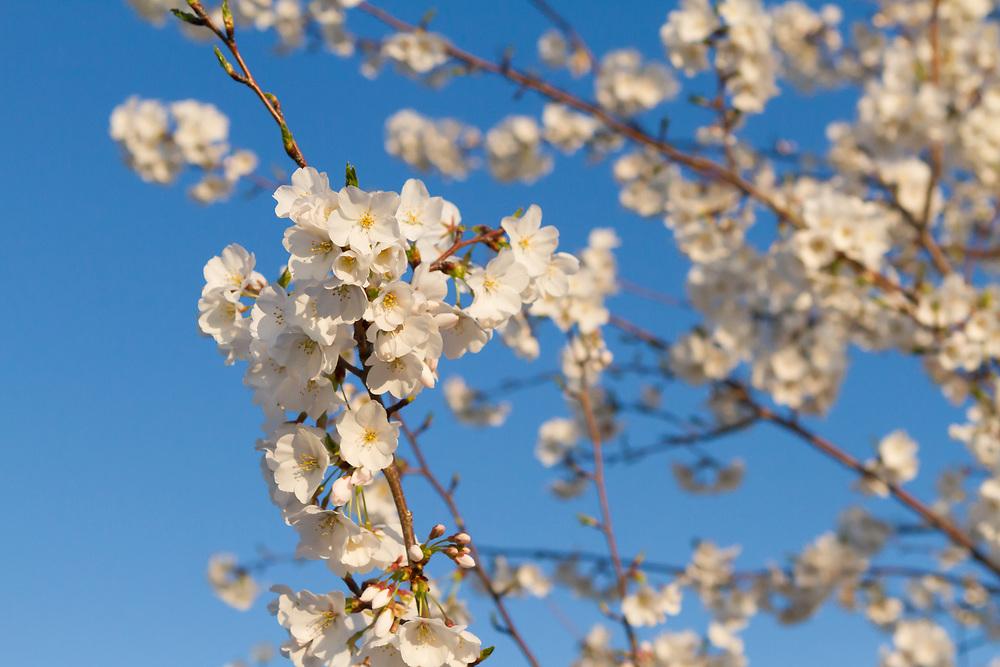 USA, Washington DC. White cherry blossoms.