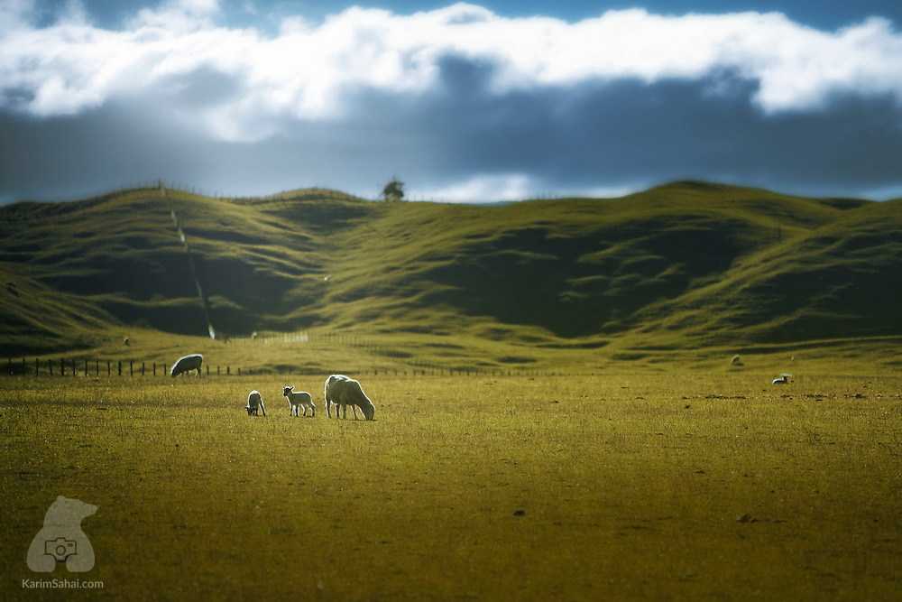 Sheep graze in field near Martinborough, Wairarapa, New Zealand.