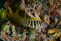 Combtooth blenny, Omobranchus elegans found in the Northwest Pacific ocean. (China 美肩鰓鳚). Range: Northwest Pacific: southern Japan to the Korean Peninsula and the Shantung Peninsula, China. Image from Zhifu Island (Chinese: 芝罘島), Shandong Province, China, byt the Bohai Sea, that is the inner part of the Yellow Sea where both the Yellow River and Hai He flow into.<br /> <br /> Conservation: The Yellow Sea is one of the most threatened marine areas on earth. Land reclamation has destructed more than 60% of tidal wetlands in only 50 years. Rapid coastal development for agriculture, aquaculture and industrial.development are primary drivers of coastal destruction in the region. In addition pollution, harmful algal blooms, invasion of introduced species are having a negative effect. There are 25 intentionally introduced species and 9 unintentionally introduced species in the Yellow Sea marine ecosystem.
