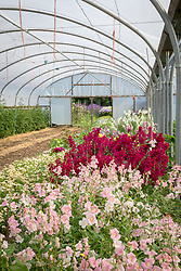Antirrhinums - Snapdragons - growing in the polytunnel at Green and Gorgeous