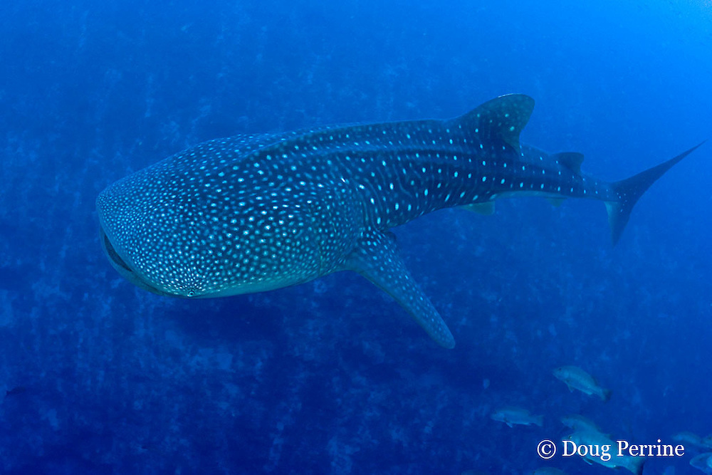 along the reef drop-off, at a depth of 175 feet, a whale shark, Rhincodon typus, cruises below a spawning aggregation of cubera snappers, Lutjanus cyanopterus<br /> Gladden Spit & Silk Cayes Marine Reserve, off Placencia, Belize, Central America ( Caribbean Sea )
