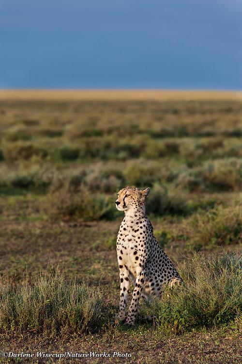 A cheetah sets watch in the early morning light of the Ndutu Lake region, Tanzania