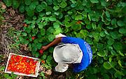 Contagem_MG, Brasil...Colheita de capuchinhas de uma fazenda que produz e vende flores comestiveis para restaurantes e supermercados de Belo Horizonte...The crop of the Garden Nasturtium in a farm, They produce and sell edible flowers for restaurants and supermarkets in Belo Horizonte...Foto: LEO DRUMOND / NITRO