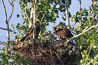 Kaiseradler, Paar am Nest, Aquila heliaca, Ost-Slowakei / Eastern Imperial Eagle pair at nest, Aquila heliaca, East Slovakia
