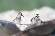 Two Semipalmated Sandpiper looking up from behind the Horseshoe Crabs as they are feeding during spring migration.<br /> Delaware Bayshore, Pickering Beach