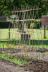 Cane tripod structure in place for growing sweet peas