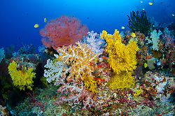 Emperor Angelfish, Pomacanthus imperator, with colorful soft corals and gorgonian. Vatu-i-ra, Bligh Water, Fiji, Pacific Ocean