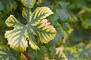 Vine leaf. Chateau Liot, Barsac, Sauternes, Bordeaux, France