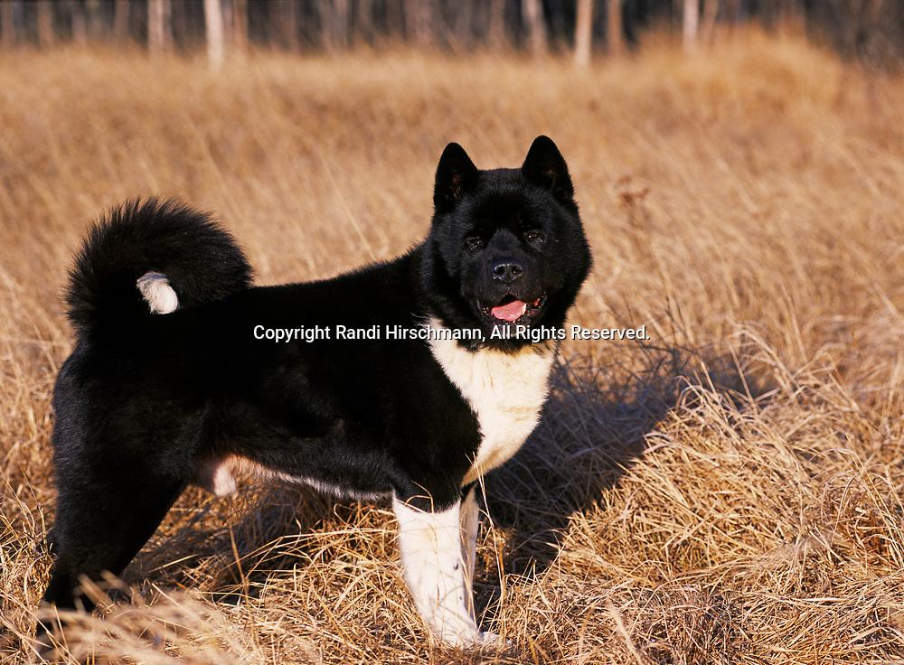 "Akita, 8-year-old ""Deuce"" photographed in Wasilla, Alaska and owned by Nicki Stewart of Fairbanks, Alaska.  (PR)"