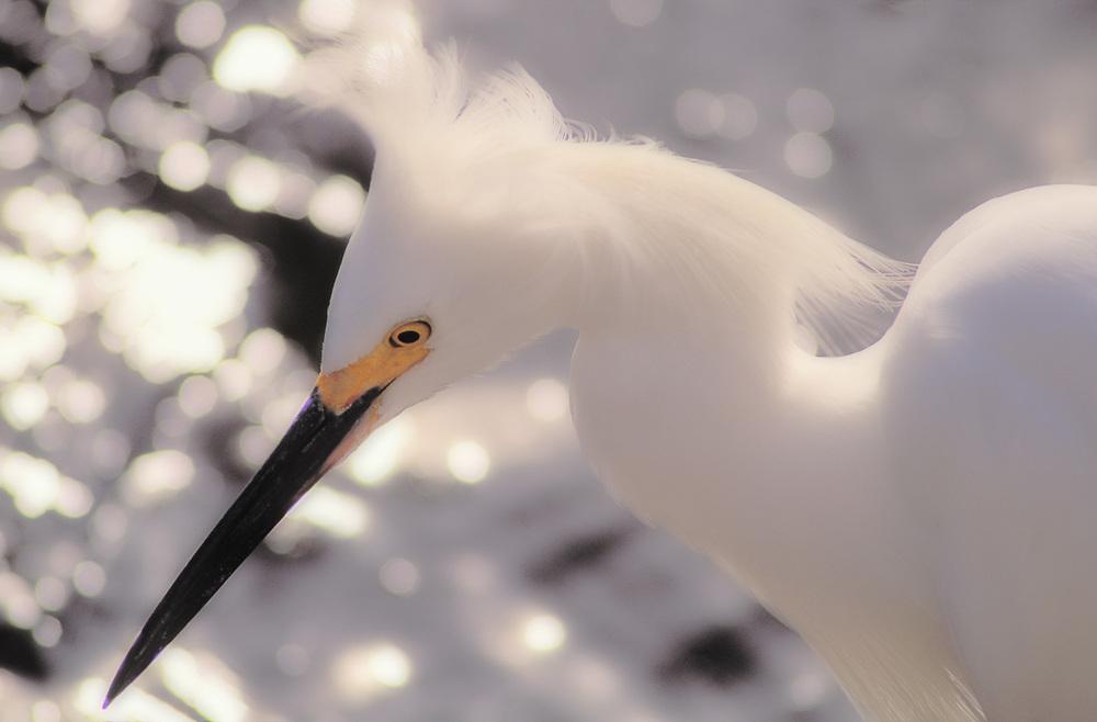 White egret, Big Cypress National Preserve, Florida, USA