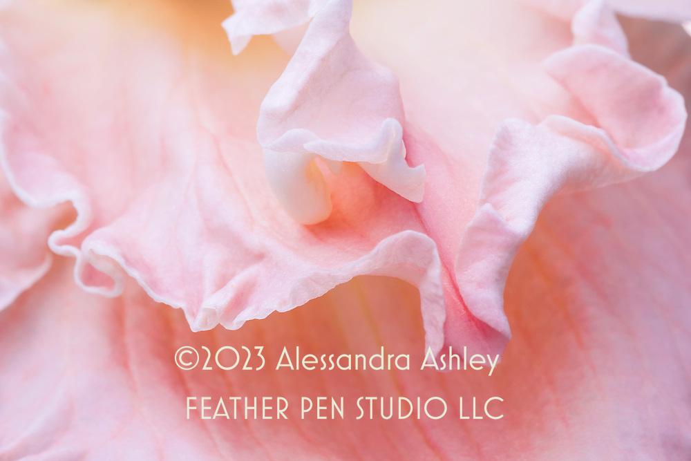 Macro view, ruffled petals of pink-toned daylily.