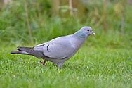 Stock Dove - Columba oenas