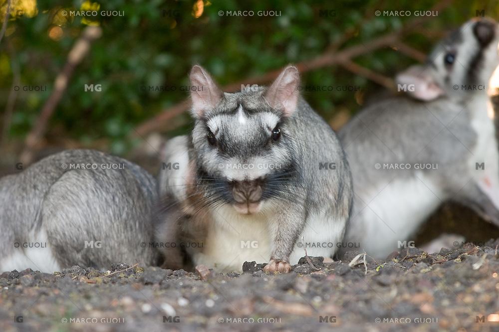 VIZCACHA (Lagostomus maximus) RASCANDOSE, PARQUE NACIONAL EL PALMAR, ARGENTINA