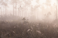 Morning fog covers spider-web-filled sawgrass and pine rocklands near Pine Glades Lake in Everglades National Park, Florida. WATERMARKS WILL NOT APPEAR ON PRINTS OR LICENSED IMAGES.