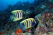 six-banded angelfish or sixbar angelfish, <br /> Pomacanthus sexstriatus, <br /> Sipadan Island, off Borneo, <br /> Sabah, Malaysia ( Celebes Sea )