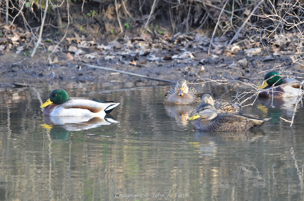 A group of ducks huddling together in the cold water of the D and R Canal in Hillsborough, NJ on New Years Day.