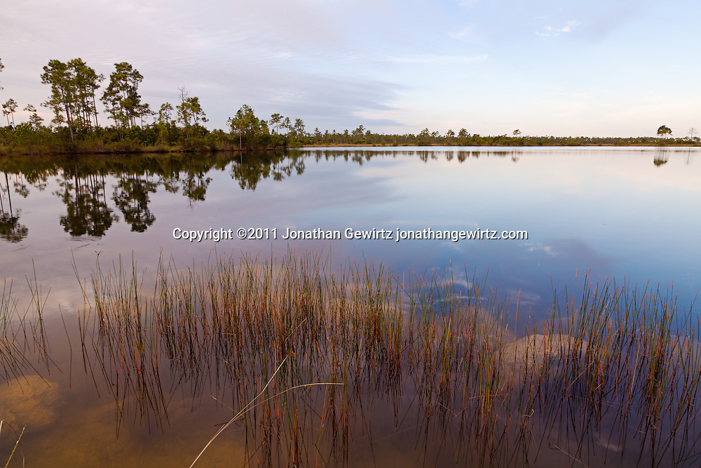 Reeds on the surface of Pine Glades Lake in Everglades National Park. WATERMARKS WILL NOT APPEAR ON PRINTS OR LICENSED IMAGES.